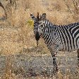 Picture of a zebra in Kafue National Park Wildlife Pictures, Zambia