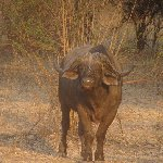 Buffalo Kafue National Park Wildlife Pictures, Zambia