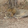 Lion in the shade at Kafue National Park Wildlife Pictures, Zambia