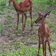 Kasane Botswana Antilopes in Botswana