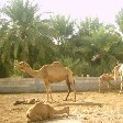 Pictures of the Bahrein Camel Farm