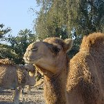 Manama Bahrain Photo of a camel near Manama