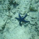 Foto of a purple sea star in Tonga