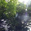 Banjan trees on Vanuatu, Port Vila Vanuatu