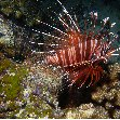 Photo of a lionfish at the Solomon Islands