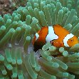 Clownfish in the waters of the Solomon Islands