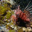 Photos of a lionfish at the Solomon Islands