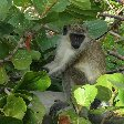 Basseterre Saint Kitts and Nevis Green Vervet Monkey on Saint Kitts and Nevis