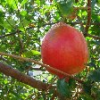 Basseterre Saint Kitts and Nevis Amazing fruit on Saint Kitts and Nevis