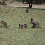 Trip to the Gelada Baboons in Simien Mountains NP, Ethiopia, Gondar Ethiopia