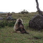 Photos of the Gelada Baboons in Simien Mountains NP, Ethiopia