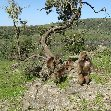 Pictures of the Gelada Baboons in Simien Mountains NP, Ethiopia