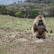 Gelada Baboons in Simien Mountains NP, Ethiopia