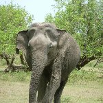 Photo of an elephant in the Yala National Park, Sri Lanka