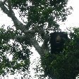 Bear in a tree, Yala National Park, Sri Lanka, Tissa Sri Lanka