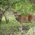 Picture of a deer in the Yala National Park, Sri Lanka
