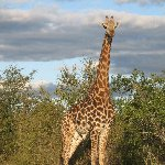 Magomba Swaziland Pictures of a giraffe in the Mkhaya Game Reserve, Swaziland