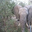Pictures of an elephant in the Mkhaya Game Reserve, Swaziland