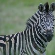 Pictures of a zebra in the Mkhaya Game Reserve, Swaziland