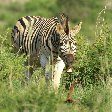 Photo of a zebra in the Mkhaya Game Reserve, Swaziland