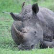 Resting rhino in the Mkhaya Game Reserve, Swaziland