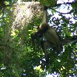 Pictures of the Spider monkeys in the Tikal National Park, Guatemala
