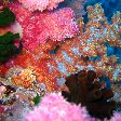 Amazing coral and nudibranches in Palau, Koror Palau