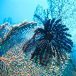 Feather Star on Fan coral