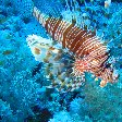 Photos of a Lion fish in Palau