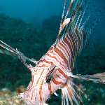 Pictures of a Lion fish in Palau