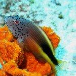 Photo of a Forster's Hawkfish on sponge, Palau