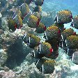 Red Tailed Butterfly Fish, Palau