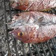 Grilled fish on the BBQ in Dili, Timor