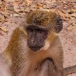 The monkeys in Bijilo Forest Park Bijilo National Park Gambia Trip Guide