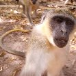 The monkeys in Bijilo Forest Park Bijilo National Park Gambia Holiday Tips The monkeys in Bijilo Forest Park
