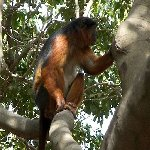 The monkeys in Bijilo Forest Park Bijilo National Park Gambia Diary Photography