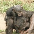 Lola Ya Bonobo sanctuary near Kinshasa Democratic Republic of the Congo Photograph