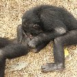 Lola Ya Bonobo sanctuary near Kinshasa Democratic Republic of the Congo Blog