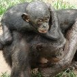 Lola Ya Bonobo sanctuary near Kinshasa Democratic Republic of the Congo Diary Photo