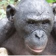 Lola Ya Bonobo sanctuary near Kinshasa Democratic Republic of the Congo Review Photo Lola Ya Bonobo sanctuary near Kinshasa