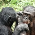 Lola Ya Bonobo sanctuary near Kinshasa Democratic Republic of the Congo Information Lola Ya Bonobo sanctuary near Kinshasa