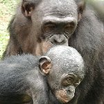 Lola Ya Bonobo sanctuary near Kinshasa Democratic Republic of the Congo Travel Information