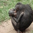 Lola Ya Bonobo sanctuary near Kinshasa Democratic Republic of the Congo Story Sharing