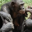 Lola Ya Bonobo sanctuary near Kinshasa Democratic Republic of the Congo Diary Adventure