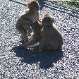 Rock of Gibraltar monkeys Diary Photo