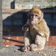 Rock of Gibraltar monkeys Information