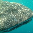 Djibouti whale sharks Holiday Photos