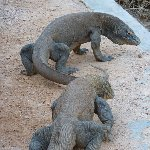Komodo dragon habitat on Rinca island Indonesia Experience