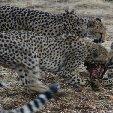 Ojitotongwe Cheetah Park Namibia Kamanjab Travel Photo Ojitotongwe Cheetah Park Namibia