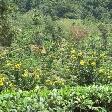 Tea Factory Visit Sri Lanka Dambulla Experience